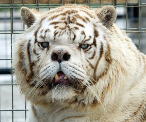 Handsome Kenny White Tiger with Cancer and deformed from inbreeding