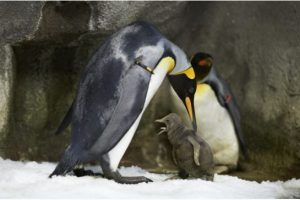 gay_penguins_at_denmark_s_odensezoo2.jpeg.size.xxlarge.letterbox